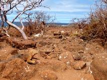 Paisaje de las Islas Galápagos con una iguana de la tierra Imagen de archivo libre de regalías