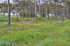 Paisaje de los árboles de pino, de la hierba verde y de las amapolas rojas Foto de archivo