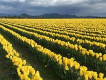 Paisaje de los campos amarillos del tulipán en un día tempestuoso foto de archivo
