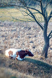 Paisaje de los campos de granja con las vacas debajo Fotografía de archivo libre de regalías