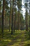 Paisaje de madera conífera Imagen de archivo libre de regalías