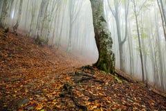 Paisaje de niebla del bosque de la mañana mística Imágenes de archivo libres de regalías