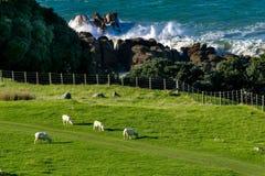 Paisaje de Nueva Zelanda con el Océano Pacífico de las ovejas Imágenes de archivo libres de regalías