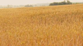 Paisaje de oro del campo de trigo del centeno de la agroindustria metrajes