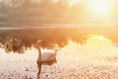 Paisaje de oro de la puesta del sol con el cisne blanco hermoso en un lago, fondo de la naturaleza Fotografía de archivo libre de regalías