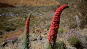 Paisaje de Tenerife con wildpretii del Echium de la planta almacen de video