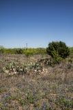 Paisaje de Texas Prickly Pear Cactus y del Bluebonnet imagen de archivo libre de regalías