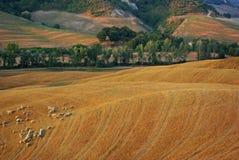 Paisaje de Toscana con las ovejas en primavera Fotografía de archivo libre de regalías