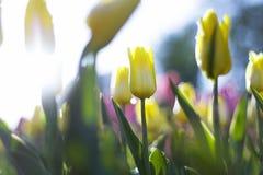 Tulipanes en fondo de la falta de definición Fotografía de archivo