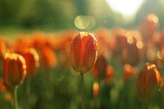 Tulipanes en fondo de la falta de definición Foto de archivo libre de regalías