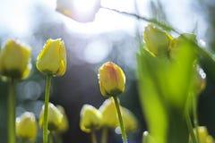 Tulipanes en fondo de la falta de definición Imágenes de archivo libres de regalías