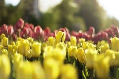 Tulipanes en fondo de la falta de definición Fotografía de archivo libre de regalías