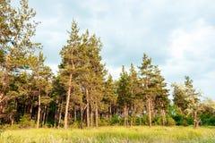 Paisaje de un bosque del pino, árboles hermosos altos Imagen de archivo