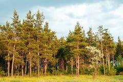 Paisaje de un bosque del pino, árboles hermosos altos Foto de archivo libre de regalías
