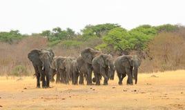 Paisaje de un desfile de los elefantes que caminan hacia cámara Imágenes de archivo libres de regalías
