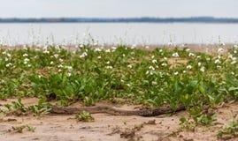 paisaje de verano Υ camalotes blancos EN Flor EN Λα ciudad de federacià ³ ν, provincia de Entre RÃos, Argen Στοκ φωτογραφία με δικαίωμα ελεύθερης χρήσης