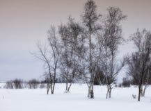 Paisaje del árbol de abedul Fotos de archivo libres de regalías