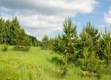 Paisaje del abedul del pino del verano gran Fotografía de archivo