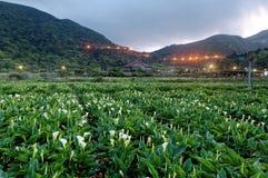 Paisaje del amanecer de un campo de flor de la cala, una granja turística en el parque nacional de Yangmingshan en Taipei suburba fotografía de archivo