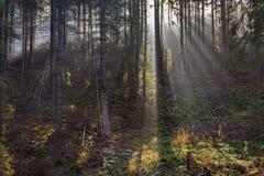Paisaje del bosque conífero brumoso en otoño imagen de archivo libre de regalías