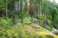 Paisaje del bosque con los árboles y el musgo de pino Fotos de archivo