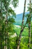 Paisaje del bosque con los abedules Foto de archivo libre de regalías