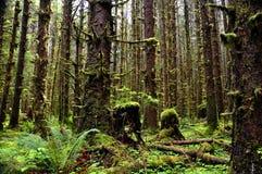 Paisaje del bosque cubierto de musgo con los árboles altos Fotos de archivo libres de regalías