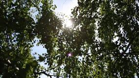 Paisaje del bosque de abedul, luz del sol del otoño detrás del árbol de abedul El sol Fotos de archivo