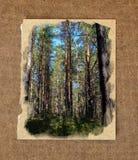Paisaje del bosque de la plantación de piñas, a través de agujas del pino en el pío de tierra Imágenes de archivo libres de regalías