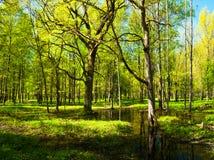 Paisaje del bosque de la primavera - árboles forestales verdes claros de la primavera y claro inundado del bosque Bosque verde de Fotos de archivo