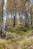 Paisaje del bosque del abedul del otoño Imágenes de archivo libres de regalías
