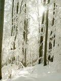 Paisaje del bosque del invierno con los árboles congelados Fotografía de archivo