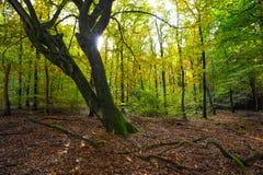 Paisaje del bosque del otoño en el sol poniente Fotos de archivo libres de regalías