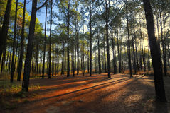 Paisaje del bosque del pino Imagen de archivo libre de regalías