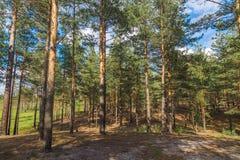 Paisaje del bosque pino Imagen de archivo