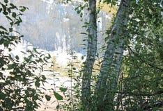 Paisaje del bosque del verano con los abedules Foto de archivo libre de regalías