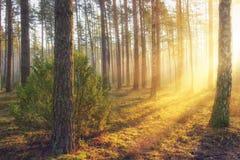 Paisaje del bosque del verano con luz del sol caliente brillante a través de árboles Colores amarillos en bosque hermoso majestuo Foto de archivo