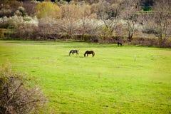 Paisaje del campo con dos caballos en campo de granja en primavera temprana imagen de archivo libre de regalías