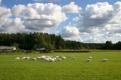 Paisaje del campo con las cabras Fotografía de archivo