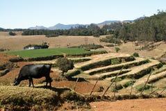 Paisaje del campo con una vaca Imágenes de archivo libres de regalías
