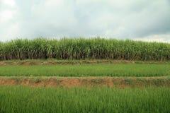 Paisaje del campo de la caña de azúcar Imagenes de archivo
