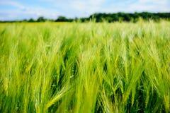 Paisaje del campo de la cebada en comienzo del verano Imagen de archivo libre de regalías