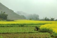 Paisaje del campo de la niebla y del Canola Imagen de archivo libre de regalías