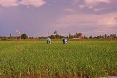 Paisaje del campo de la producción del campo del arroz Imagenes de archivo