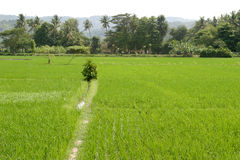 Paisaje del campo del arroz Foto de archivo libre de regalías