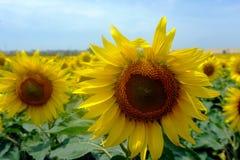 Paisaje del campo del girasol en la época del día de verano para el fondo Foto de archivo libre de regalías