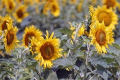 Paisaje del campo del girasol en la época del día de verano para el fondo Fotografía de archivo