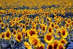 Paisaje del campo del girasol en la época del día de verano para el fondo Imagen de archivo