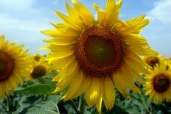 Paisaje del campo del girasol en la época del día de verano para el fondo Fotos de archivo