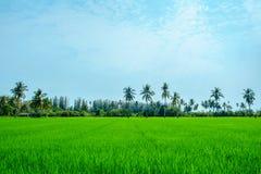 Paisaje del campo verde natural del arroz o del arroz con el árbol de coco Foto de archivo